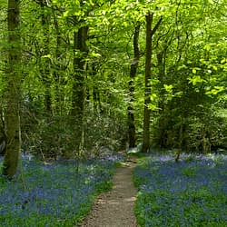 A woodland scene with a path in the centre and a carpet of bluebells on either side