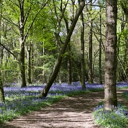 A pictorial photo of a woodland scene with a curved path in the centre a leaning tree and a carpet of bluebells