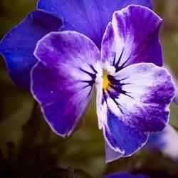 A purple poppy flower